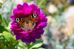 Papillon de paon, aglais E/S, papillon de paon européen sur la fleur rose de dahlia photo très pointue photo stock