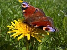 Papillon de paon Aglais E/S - pissenlit photos stock