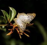 Papillon de paon blanc sur l'usine de Firebush Images libres de droits