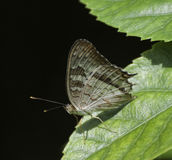 Papillon de paon blanc sur la feuille verte Photo stock
