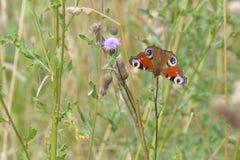 Papillon de paon commun d'Européen Image stock