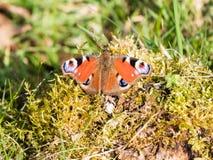 Papillon de paon commun d'Européen Photographie stock