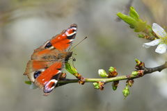 Papillon de paon commun d'Européen Aglais E/S, Inachis E/S Photo stock