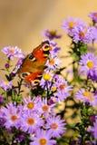 Papillon de paon européen, inachis E/S, dans le pré pourpre de fleur sauvage photo stock