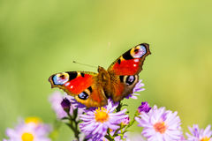 Papillon de paon européen, inachis E/S, dans le pré pourpre de fleur sauvage images stock