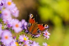 Papillon de paon européen, inachis E/S, dans le pré pourpre de fleur sauvage photos stock