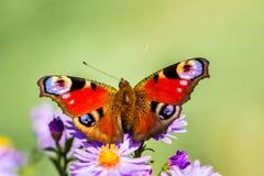 Papillon de paon européen, inachis E/S, dans le pré pourpre de fleur sauvage image stock