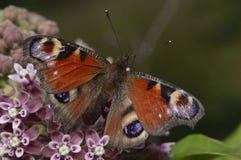 Papillon de paon, Inachis E/S, reposant sur les wildflowers pourpres images stock