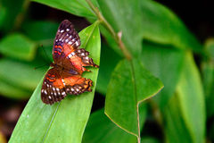 Papillon de paon rouge en nature Photos stock
