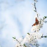 Papillon de paon sur des fleurs de cerisier Photos stock