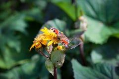 Papillon de paon sur la fleur jaune Photo libre de droits