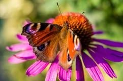 Papillon de paon sur la tête de fleur rose, Aglais E/S Photo stock