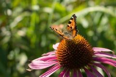 Papillon de paon sur le purpleflower photographie stock