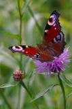 Papillon de paon sur un bleuet de pré de fleur Image stock