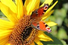 Papillon de paon sur un tournesol images libres de droits