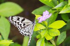 Papillon de papier de riz Photographie stock libre de droits