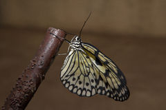 Papillon de papier de riz sur la branche Image stock