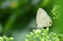 Papillon de papillon Image libre de droits