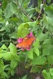 Papillon de passion image libre de droits