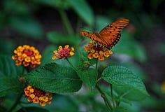 Papillon de passion ou fritillaire de Golfe Image libre de droits