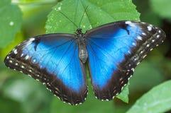 Papillon de peleides de Morpho Photo stock