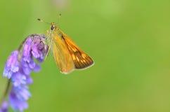 Papillon de plan rapproché Image libre de droits