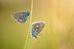 Papillon de plan rapproché sur l'herbe Photographie stock libre de droits
