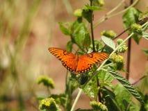 Papillon de pollinisateur en Costa Rica Images stock