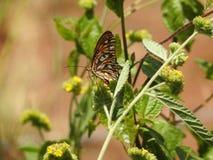 Papillon de pollinisateur en Costa Rica photographie stock libre de droits