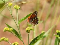 Papillon de pollinisateur en Costa Rica image stock