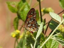 Papillon de pollinisateur en Costa Rica photo stock