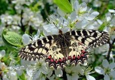 Papillon de Polyxene images stock
