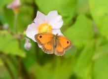 Papillon de portier Photo stock