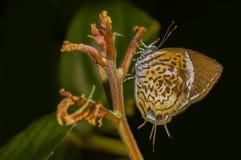 Papillon de puzzle de singe Image stock
