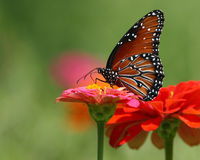 Papillon de reine photo libre de droits