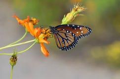 Papillon de reine photo stock