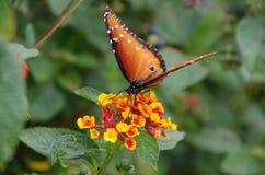 Papillon de reine alimentant sur le Lantana photos libres de droits