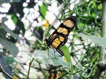 Papillon de repos seul photographie stock