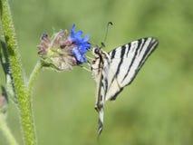 Papillon de ressort sur une fleur Photo libre de droits