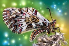 Papillon de ressort sur une vieille fleur Photo libre de droits