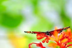 Papillon de soldat (reine), la Floride photos stock