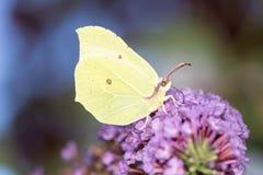 Papillon de soufre Images stock