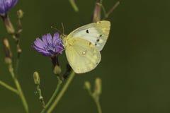 Papillon de soufre Images libres de droits