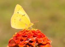 Papillon de soufre jaune-orange lumineux Photo stock