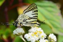 Papillon de Swordtail de lunettes Photographie stock libre de droits