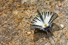 Papillon de Swordtail de lunettes Photo stock