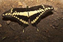 Papillon de thoas de Papilio été perché au-dessus de la terre Image stock