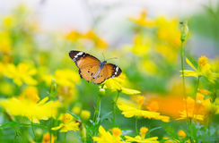 Papillon de tigre Image libre de droits