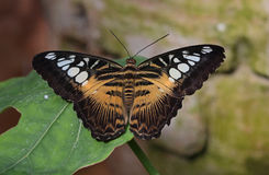 Papillon de tondeuse Photographie stock