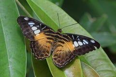 Papillon de tondeuse Photo stock